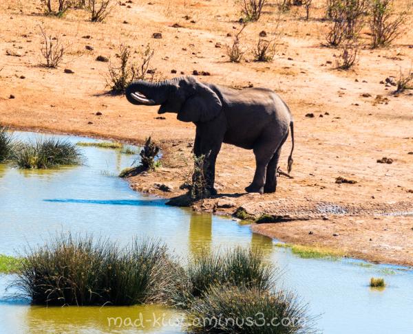 Elephant Drinking III