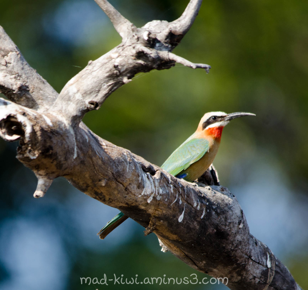 White-fronted Bee-eater I