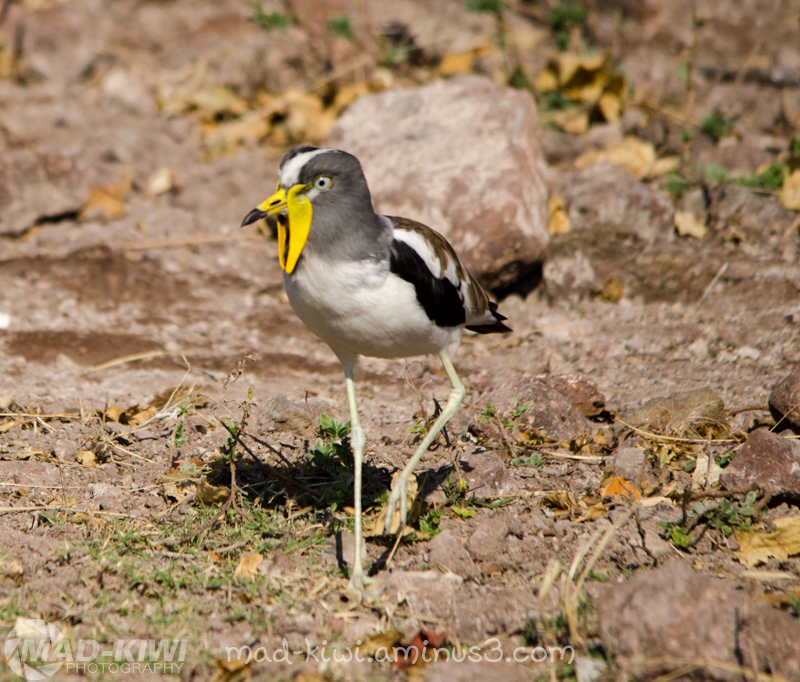 White-crowned Lapwing I
