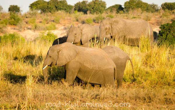 Elephants VI