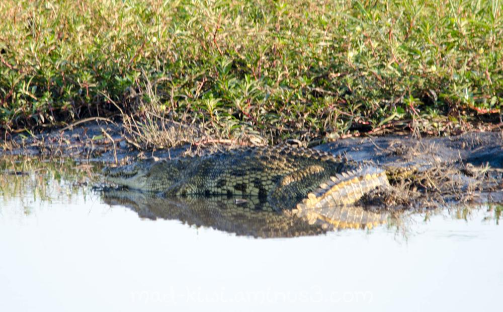 Crocodile III