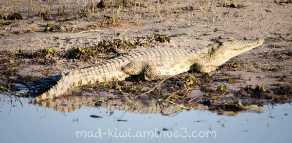 Crocodile IV