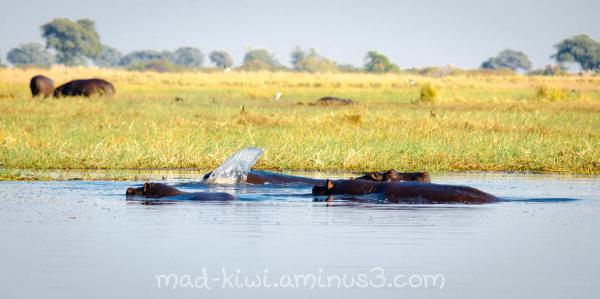 Hippos II