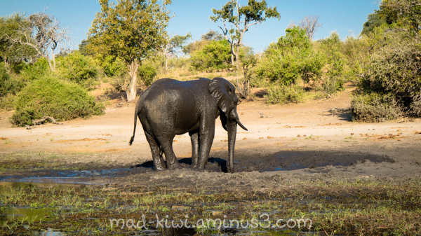 Elephant XIII