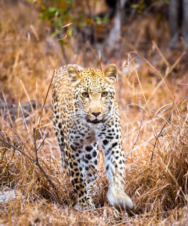 Leopard XI