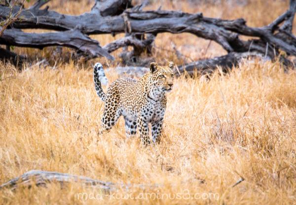 Leopard XIV