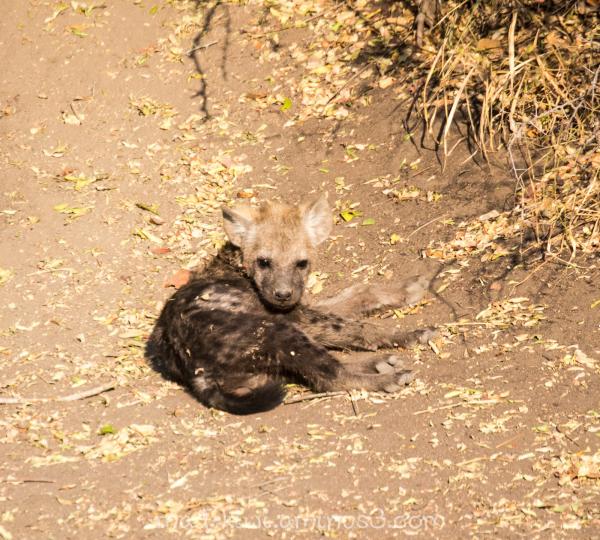 Hyena II