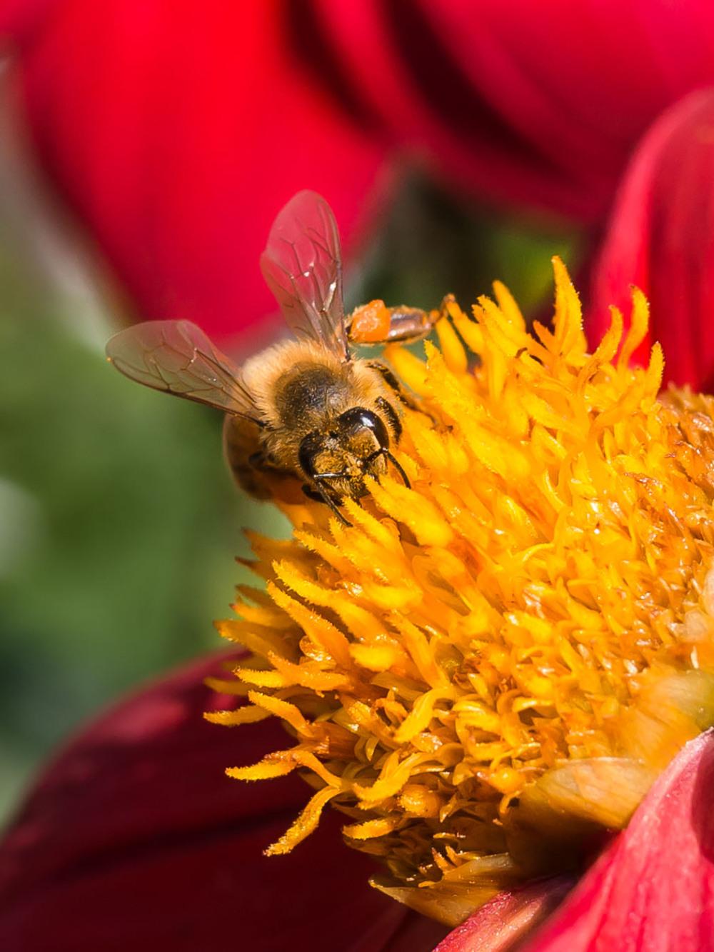 A Bee on a Dahlia