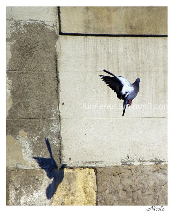 envol de pigeon