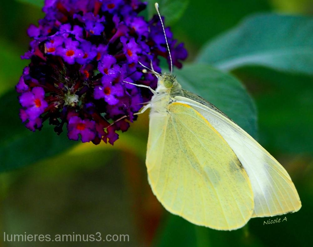 Sur l'arbre à papillon (Buddleïa)