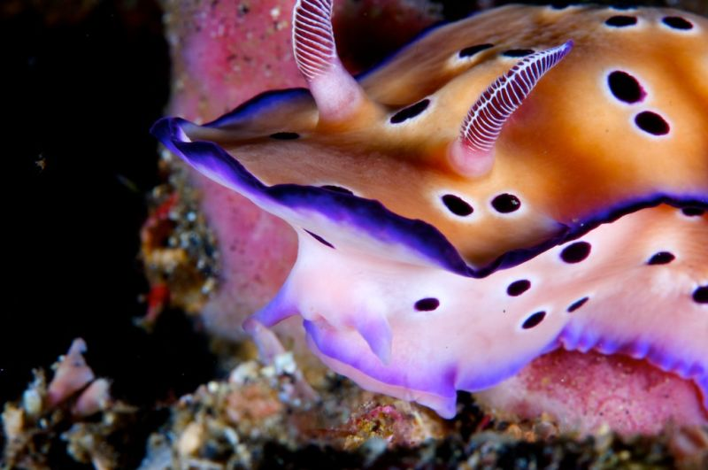 lembeh strait, nudibranches, sulawesi