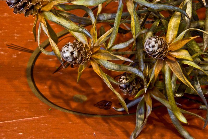 orange nasturtium dew drops