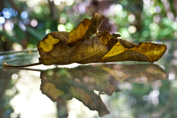 brown leaf reflection