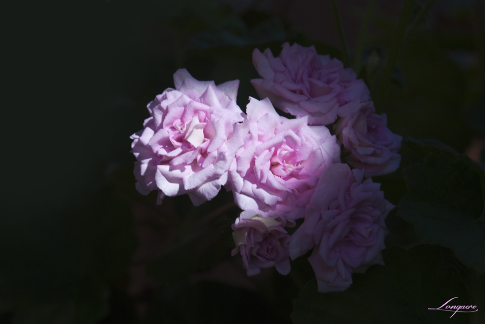 rococco geranium