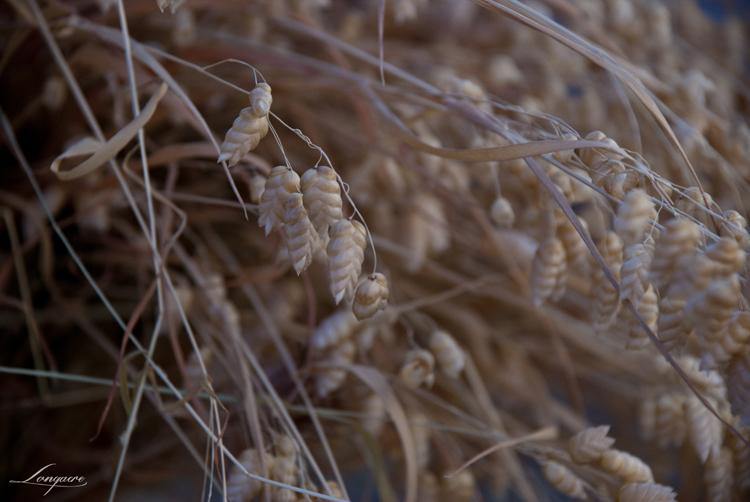 dried rattlesnake grass