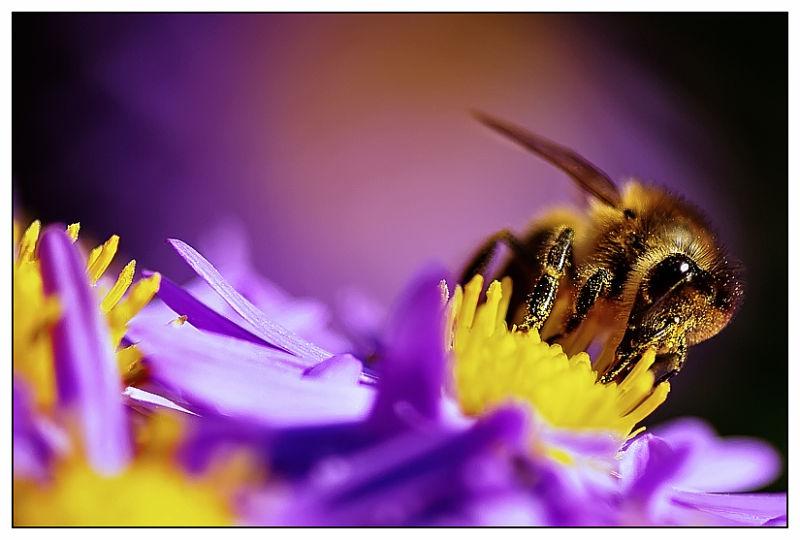 une abeille sur une aster...