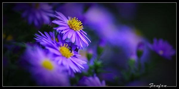 des asters ...
