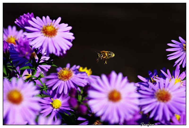 une abeille