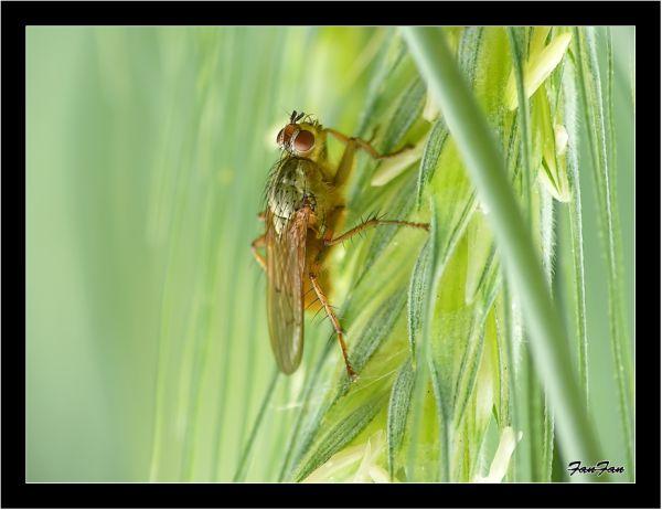 une mouche sur un épi de blé