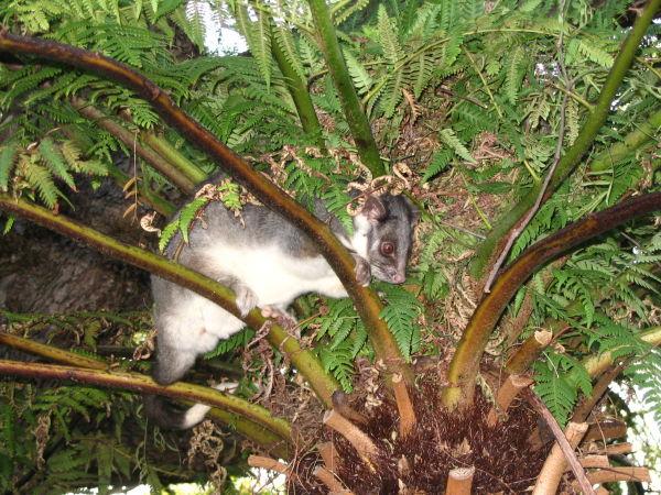 Possum # 2