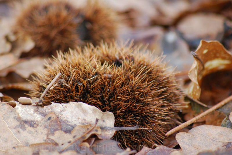 Chestnuts or hedgehog ?