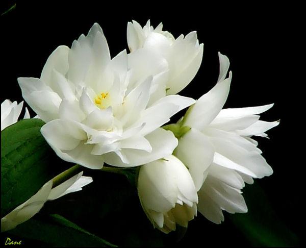 Fleur de seringa
