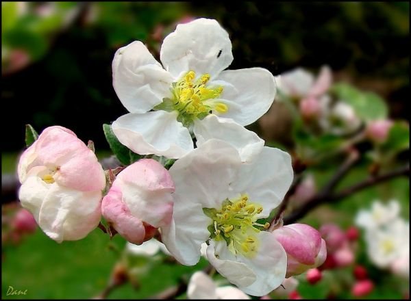 Fleurs de pommiers ..