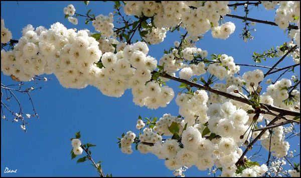 Cerisier dans le ciel de Paris