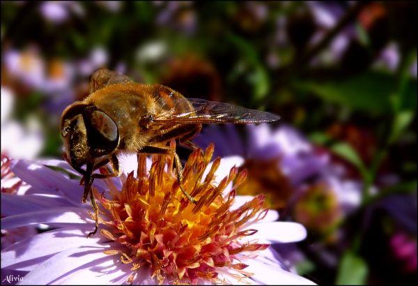 abeille butineuse ..