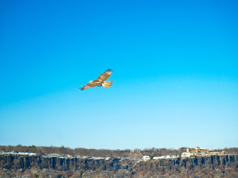 Soaring bird at Fort Tryon Park