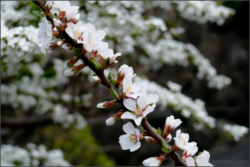 A minute Small cherry blossoms LEICA
