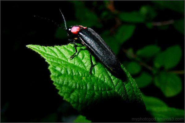 A firefly in the garden on a leaf LEICA