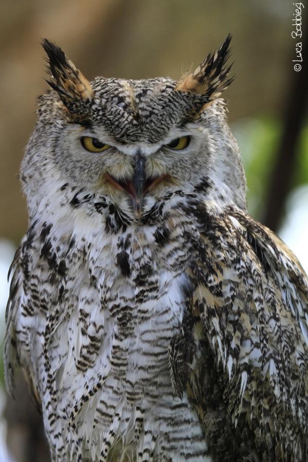 Talkin' Owl