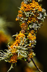 Lichen On Twigs
