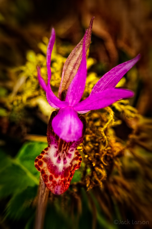 Fairy Slipper (fake HDR)