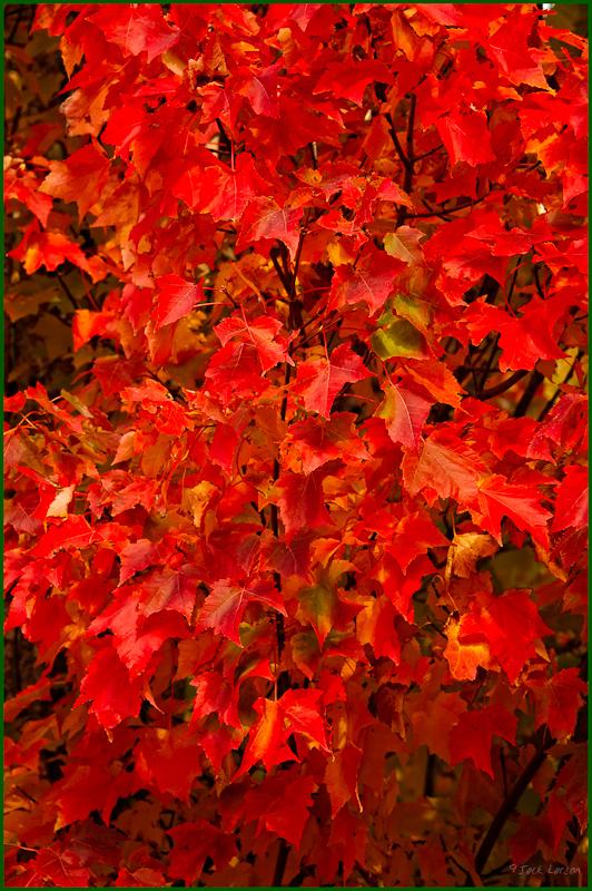Corvallis Fall Colors