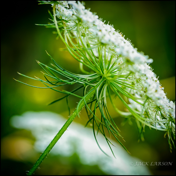 Queen Anne's Lace w/Tripod