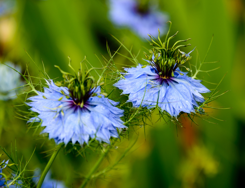 Lovely Blue