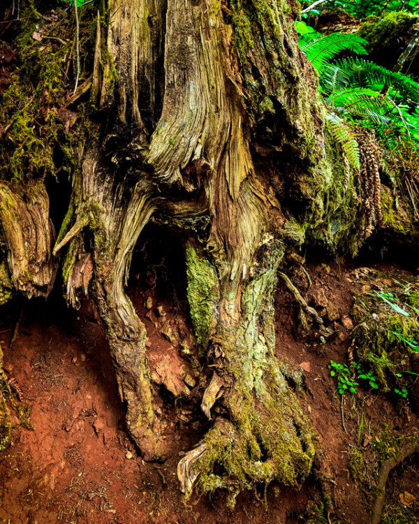 """In the Old Growth"""