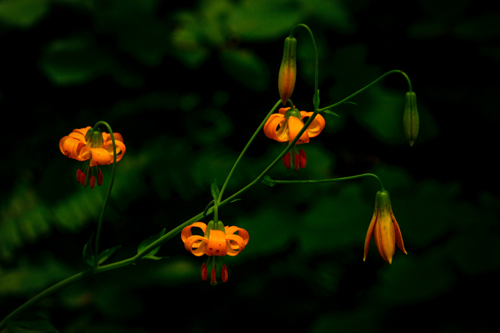 Leopard Lilies