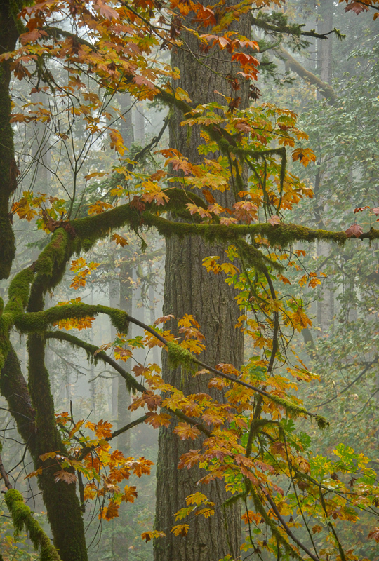 Autumn in the Old Growth Forest #4