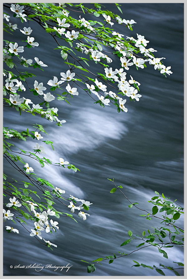Dogwood along the Merced River