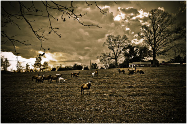 Goats in the country