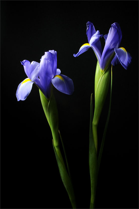Blue Iris (1/3)