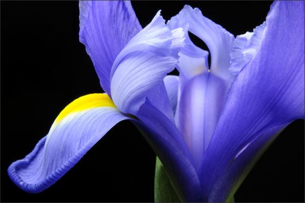 Blue Iris (2/3)
