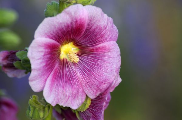 Another Hollyhock