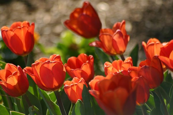 Sunbathing Tulips