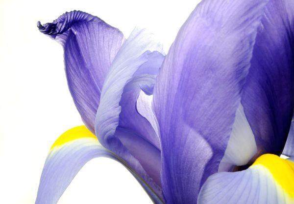 Iris on White