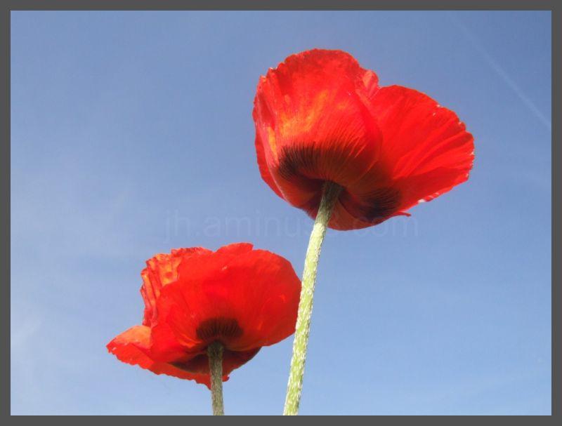 Red poppies, blue skies