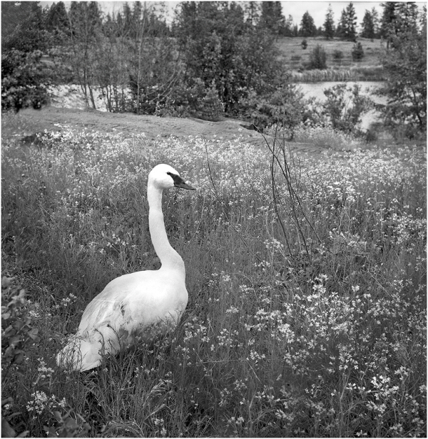 A swan on the Turnbull Game Preserve